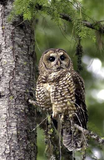 Feds to consider endangered species listing for spotted owl