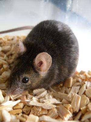 Female mice do not avoid mating with unhealthy males