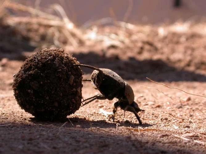 Five things dung beetles do with a piece ofpoo