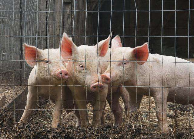 Flu virus in pigs shows worrisome pandemic profile, study finds