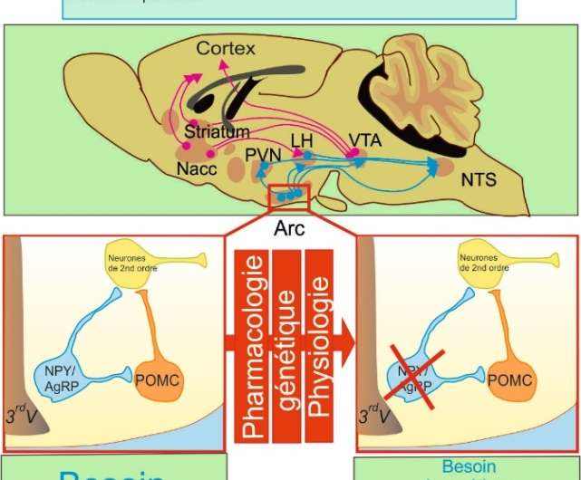 Food intake, a fragile balance between neural pathways
