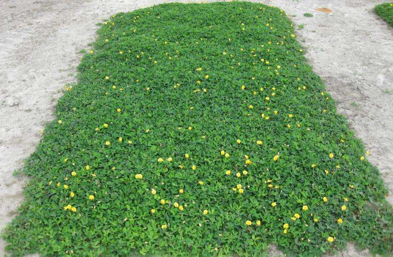 Forage crop promising as ecologically friendly ornamental groundcover