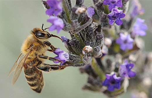 Forager bees 'turn on' gene expression to protect against microorganisms, toxins