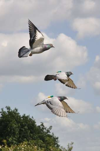 For pigeons, follow the leader is a matter of speed
