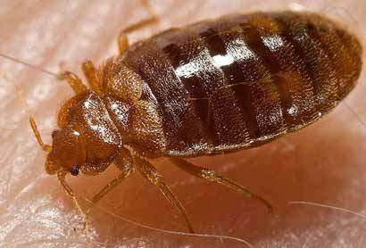 French researchers develop new device to collect bed bugs