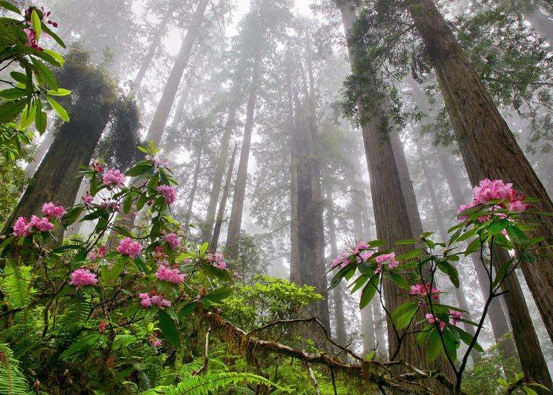 Future coastal climate not cool for redwood forests