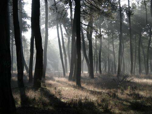Genetic data can help predict how pine forests will cope with climate change