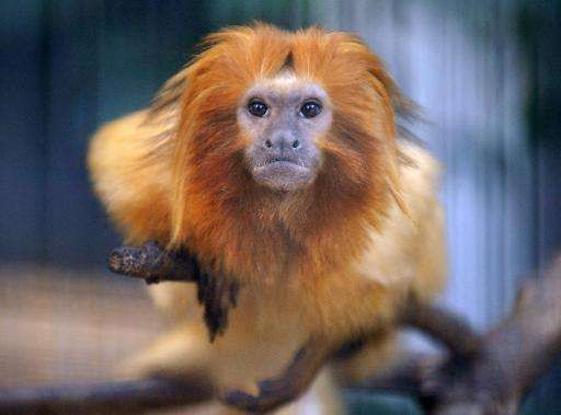 Golden lion tamarins are on the list of critically endangered animals
