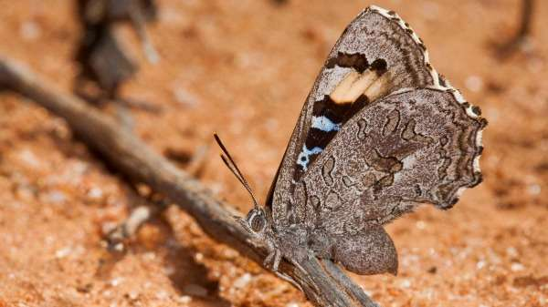 Goldfields ant nests under surveillance for elusive butterfly