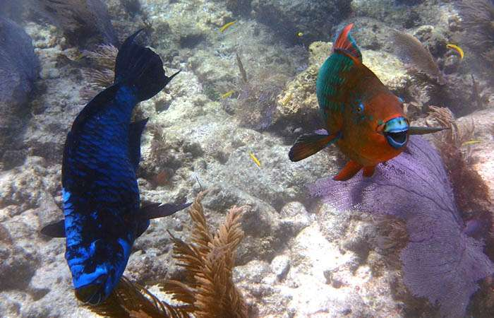Grazing fish can help save imperiled coral reefs