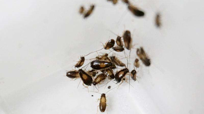 Gut bacteria important factor in cockroach gathering