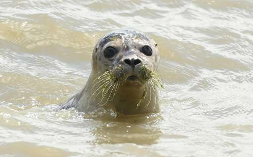 Harbour seals (pictured) were the most commonly sighted marine mammal in the Thames between 2004-2014, with 1,080 animals report
