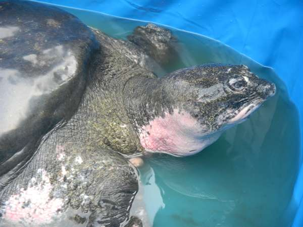 Highly endangered 100-year-old turtle given last chance to breed