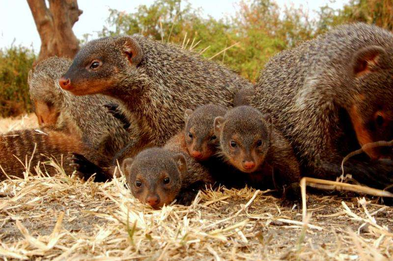 High stress during pregnancy decreases offspring survival, according to mongoose study