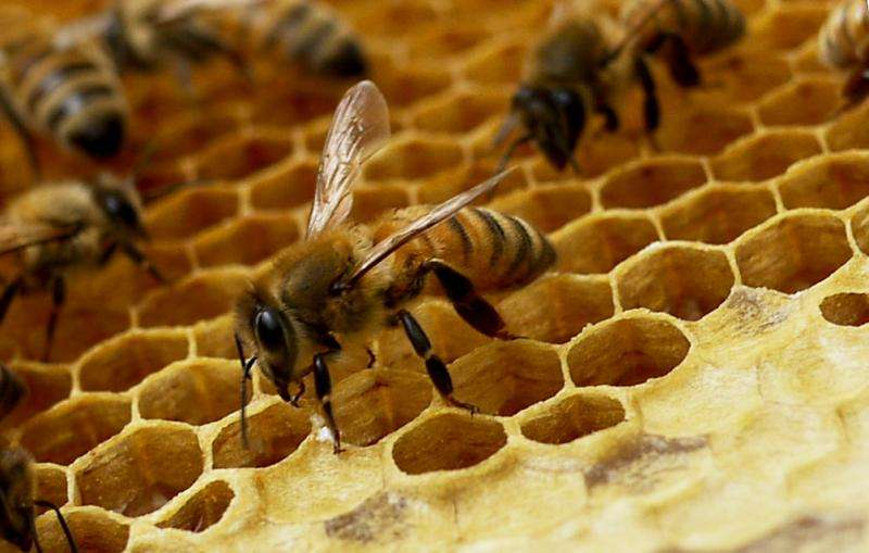 Honey bees rapidly evolve to overcome new disease