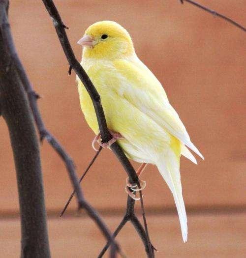 Hormone sensitive gene regulation in seasonal singing birds