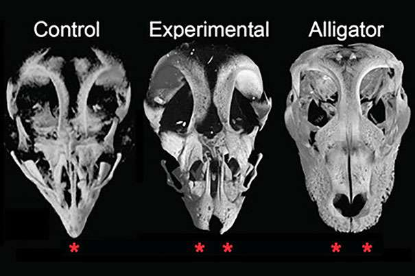 How bird evolution swapped snouts for beaks