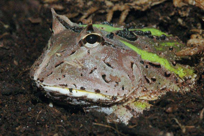 How frog tongues are like commercial dry adhesives