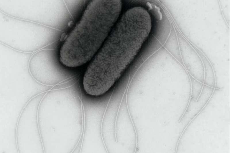 How Salmonella synchronizes its invasion plan