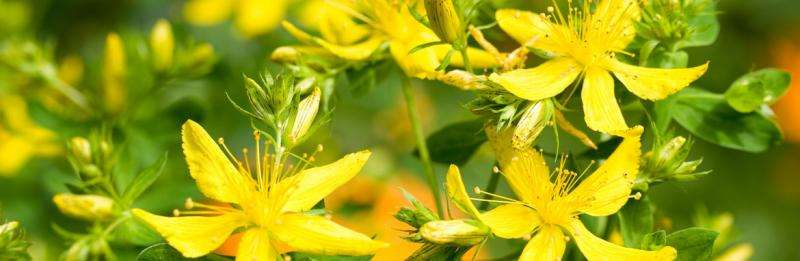 How St. John's Wort can make you sick
