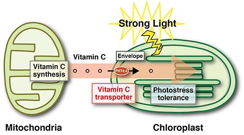 How vitamin C helps plants beat the sun