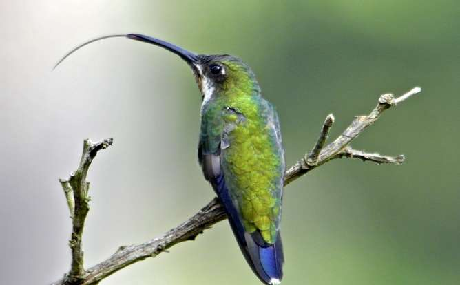 Hummingbird tongues are tiny pumps that spring open to draw in nectar