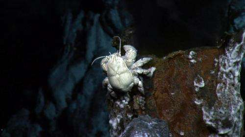 In hot and cold water: The private lives of 'Hoff' crabs revealed