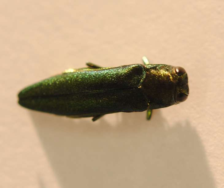 Insect decoys could protect ash trees