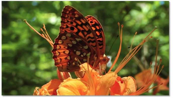 Insect's Wings Key to Azalea Pollination