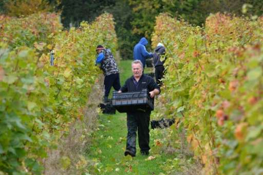 Instructor Dave Perrin carries picked grapes at a vineyard near Scaynes Hill, part of the wine department of Plumpton College in