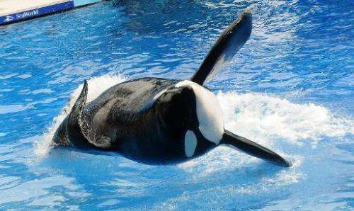 """Killer whale """"Tilikum"""" performs during the """"Believe"""" show at Sea World in Orlando, Florida on  March 30, 201"""