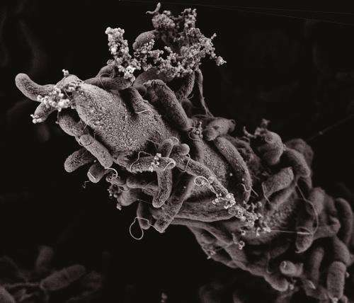 Killing for DNA: A predatory device in the cholera bacterium