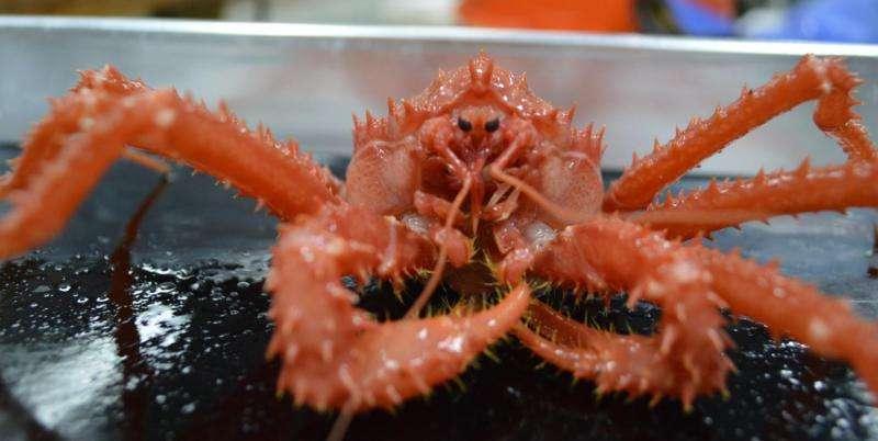 King crabs threaten Antarctic ecosystem due to warming ocean