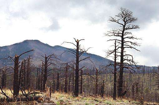 Large trees -- key climate influencers -- die first in drought