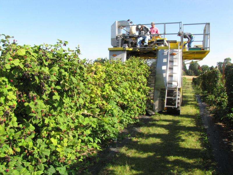 Maíz líquido y fertilizantes para pescado 'buenas opciones' para la producción orgánica de moras