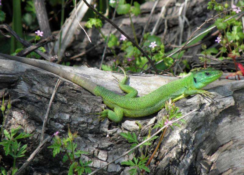 Lizards can stomach island living
