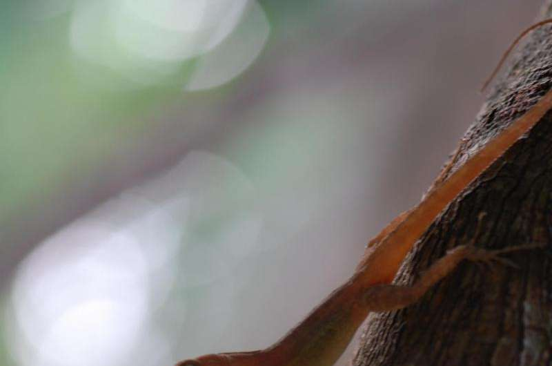 Look at me! Forest-dwelling anoles 'glow' to attract attention
