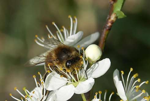 Low winter mortality in Dutch bee colonies for the third year in a row