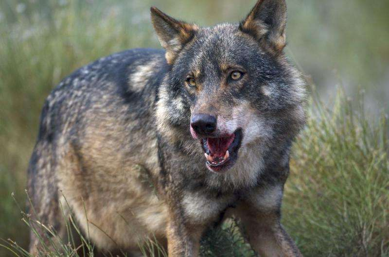 Mad cow disease changed the diet of the Galician wolf
