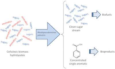 Making the biofuels process safer for microbes
