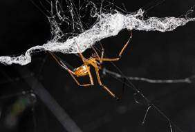 Male black widow spiders destroy female's web to deter rivals
