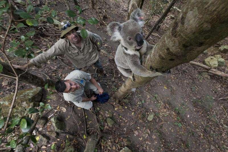 Male koalas raise their voices to avoid conflict