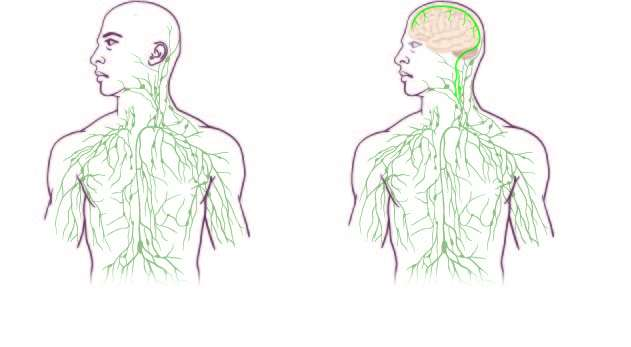 Missing link found between brain, immune system -- with major disease implications