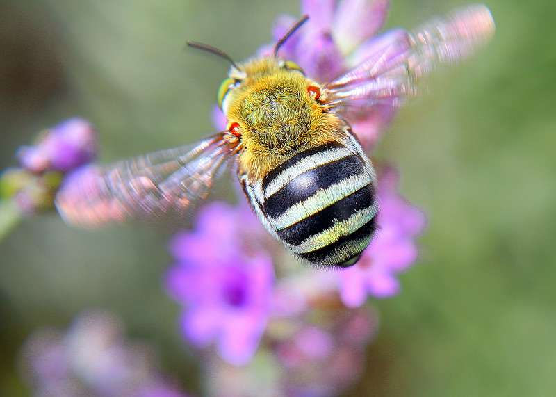 More sex key to protecting bee populations
