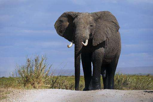 More than 30,000 elephants are killed every year to satisfy demand for ivory in China and the Far East, where tusks are worth mo