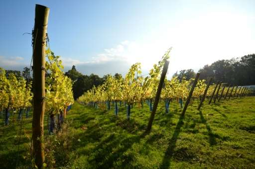 Most of Britain's winemakers are located in Surrey, Sussex and Kent in south-east England and in Hampshire in the south-west