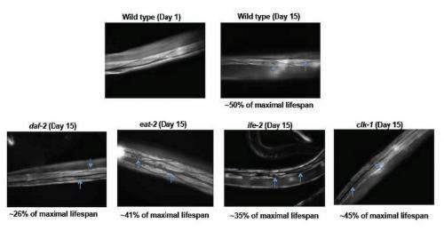 Movement capacity of aging worms
