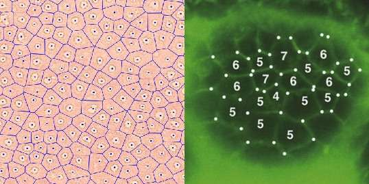 Mysterious desert fairy circles share pattern with skin cells