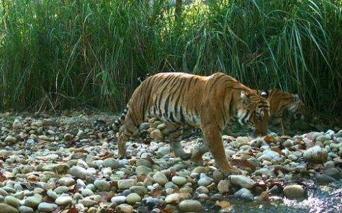 Nepal's success in turning tiger-fearing villagers into their protectors has seen none of the endangered cats killed for almost