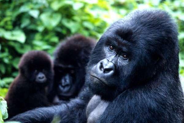 New census critical for mountain gorillas in Virunga